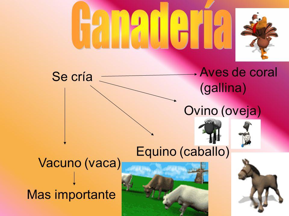 Se cría Vacuno (vaca) Mas importante Equino (caballo) Ovino (oveja) Aves de coral (gallina)