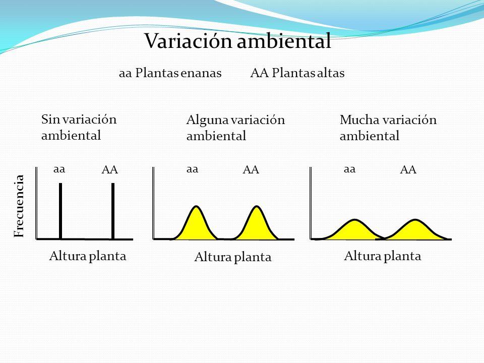 Variación ambiental Altura planta aa Plantas enanas AA Plantas altas Altura planta aa AA aa AA aa AA Altura planta Sin variación ambiental Alguna vari