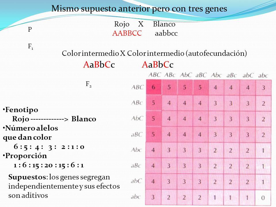 Mismo supuesto anterior pero con tres genes Rojo X Blanco AABBCC aabbcc Color intermedio X Color intermedio (autofecundación) PF1PF1 F2F2 Fenotipo Roj