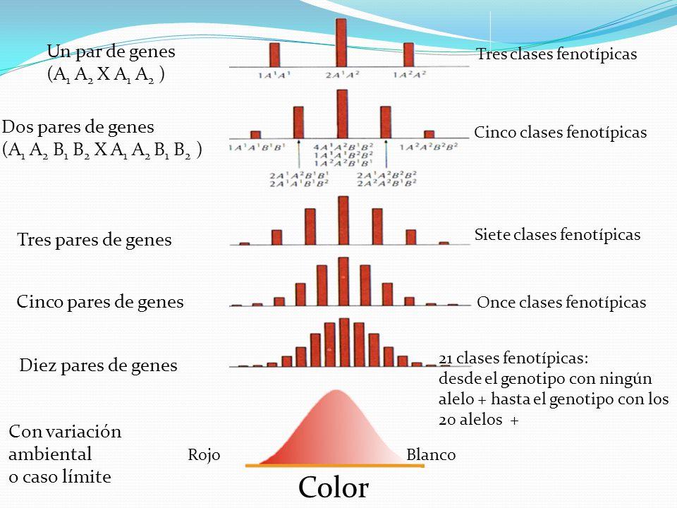 Color Rojo Blanco Un par de genes (A 1 A 2 X A 1 A 2 ) Dos pares de genes (A 1 A 2 B 1 B 2 X A 1 A 2 B 1 B 2 ) Tres pares de genes Cinco pares de gene
