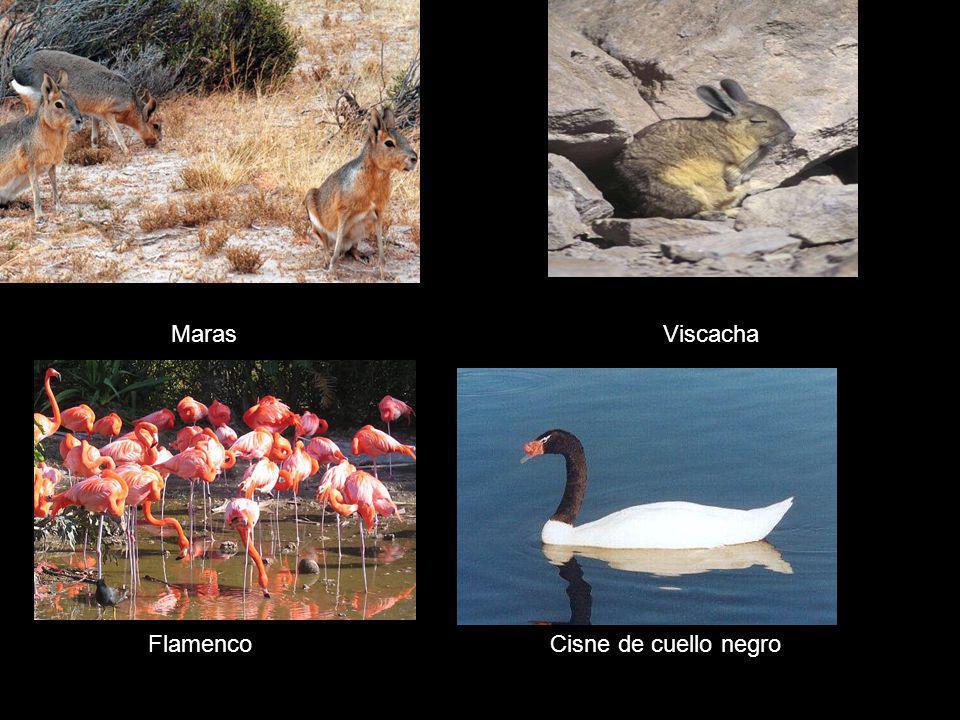 Maras Viscacha FlamencoCisne de cuello negro