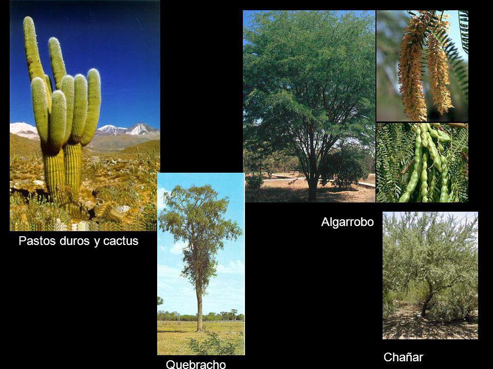 Quebracho Pastos duros y cactus Algarrobo Chañar