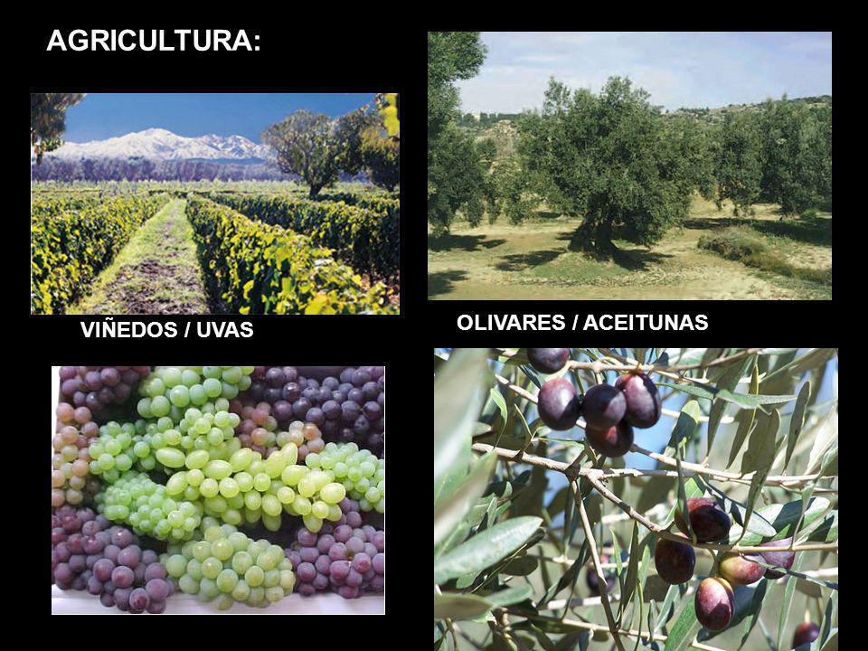 OLIVARES / ACEITUNAS VIÑEDOS / UVAS AGRICULTURA:
