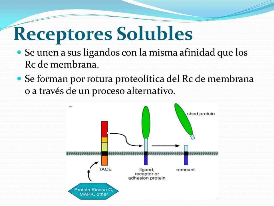 Receptores Solubles Se unen a sus ligandos con la misma afinidad que los Rc de membrana. Se forman por rotura proteolítica del Rc de membrana o a trav
