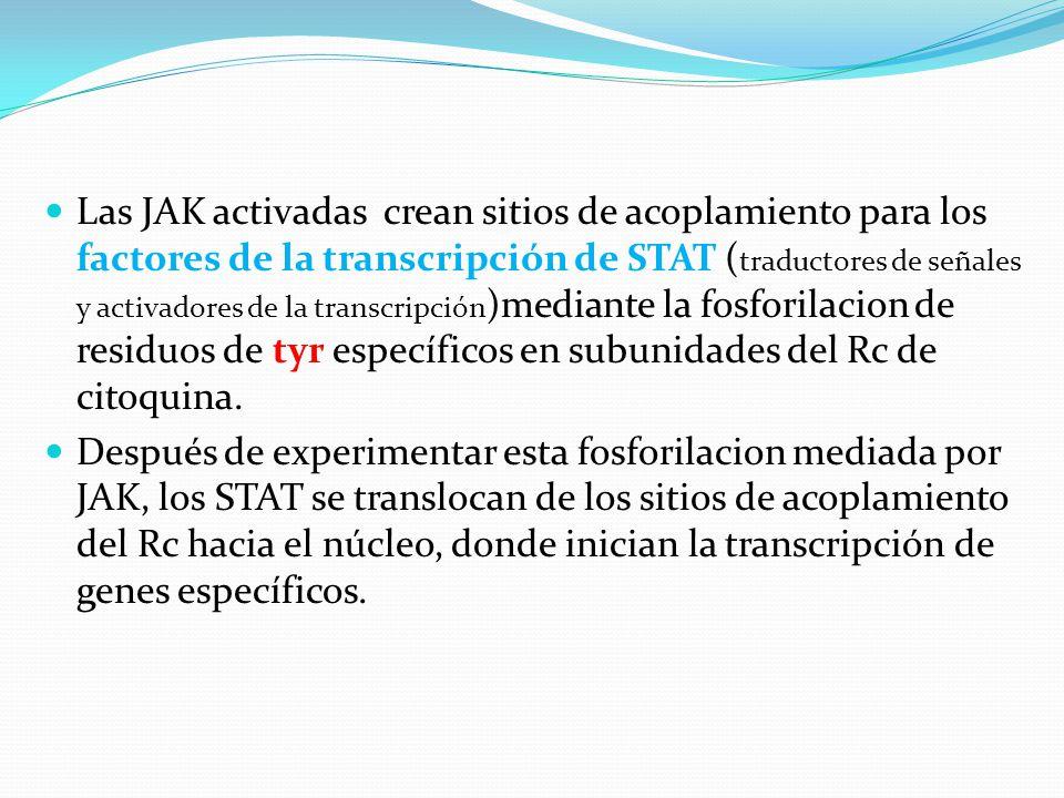 Las JAK activadas crean sitios de acoplamiento para los factores de la transcripción de STAT ( traductores de señales y activadores de la transcripció