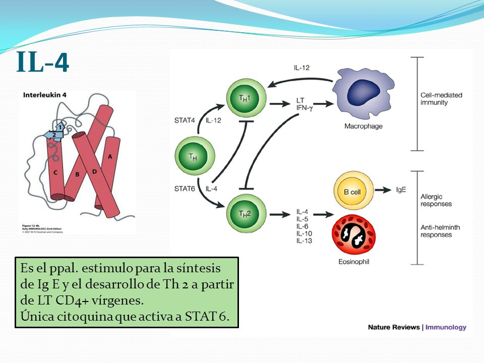 IL-4 Es el ppal. estimulo para la síntesis de Ig E y el desarrollo de Th 2 a partir de LT CD4+ vírgenes. Única citoquina que activa a STAT 6.