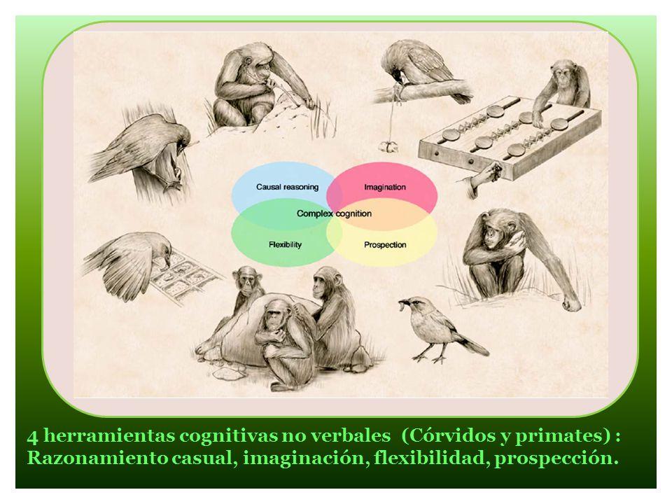4 herramientas cognitivas no verbales (Córvidos y primates) : Razonamiento casual, imaginación, flexibilidad, prospección.