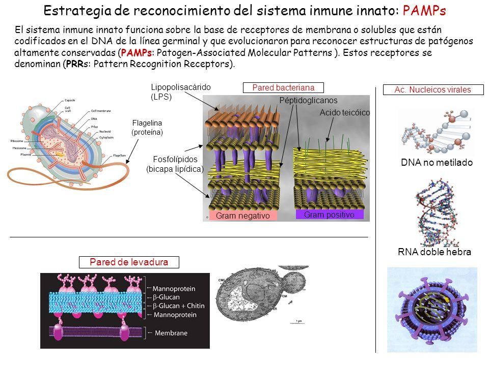 23 Estrategia de reconocimiento del sistema inmune innato: PAMPs El sistema inmune innato funciona sobre la base de receptores de membrana o solubles