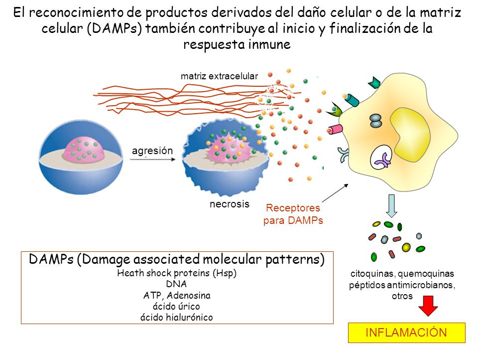25 El reconocimiento de productos derivados del daño celular o de la matriz celular (DAMPs) también contribuye al inicio y finalización de la respuest