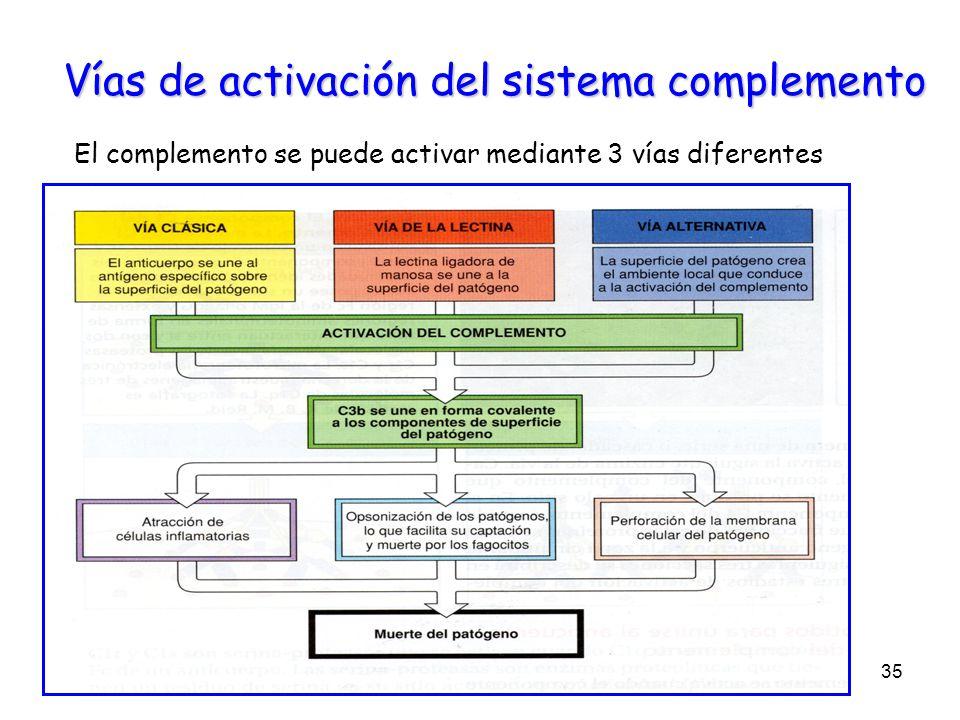 Vías de activación del sistema complemento El complemento se puede activar mediante 3 vías diferentes 35