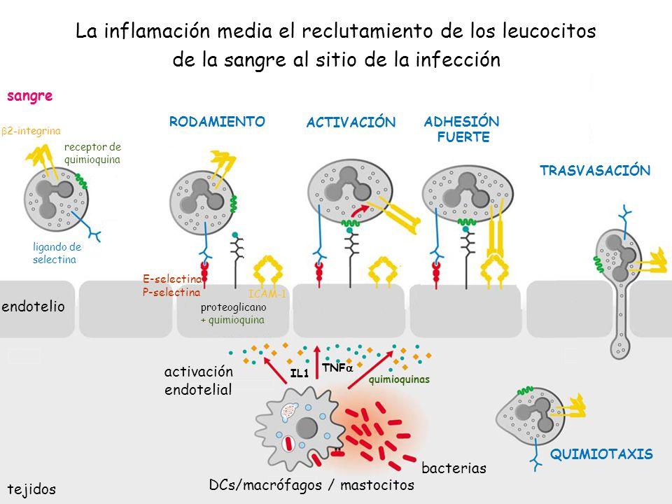 36 sangre tejidos E-selectina P-selectina proteoglicano + quimioquina ICAM-1 2-integrina receptor de quimioquina ligando de selectina bacterias DCs/ma