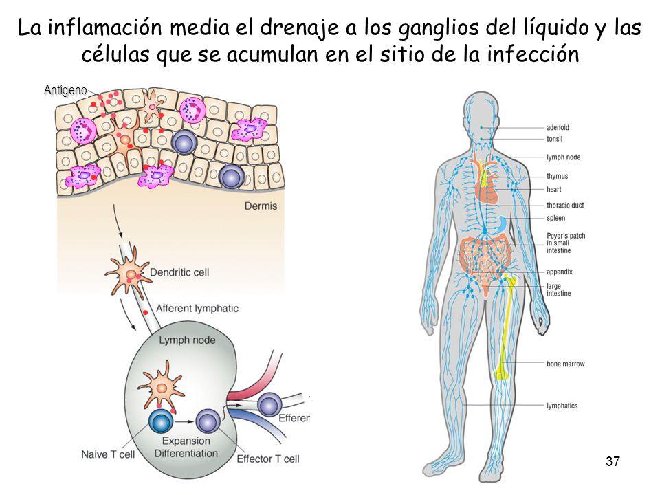37 La inflamación media el drenaje a los ganglios del líquido y las células que se acumulan en el sitio de la infecciónAntígeno