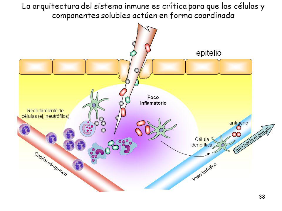38 La arquitectura del sistema inmune es crítica para que las células y componentes solubles actúen en forma coordinada epitelio Reclutamiento de célu