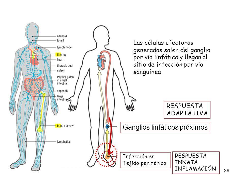 39 Infección en Tejido periférico Ganglios linfáticos próximos Las células efectoras generadas salen del ganglio por vía linfática y llegan al sitio d