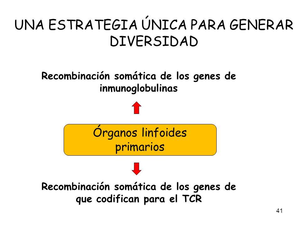 UNA ESTRATEGIA ÚNICA PARA GENERAR DIVERSIDAD 41 Recombinación somática de los genes de inmunoglobulinas Recombinación somática de los genes de que cod