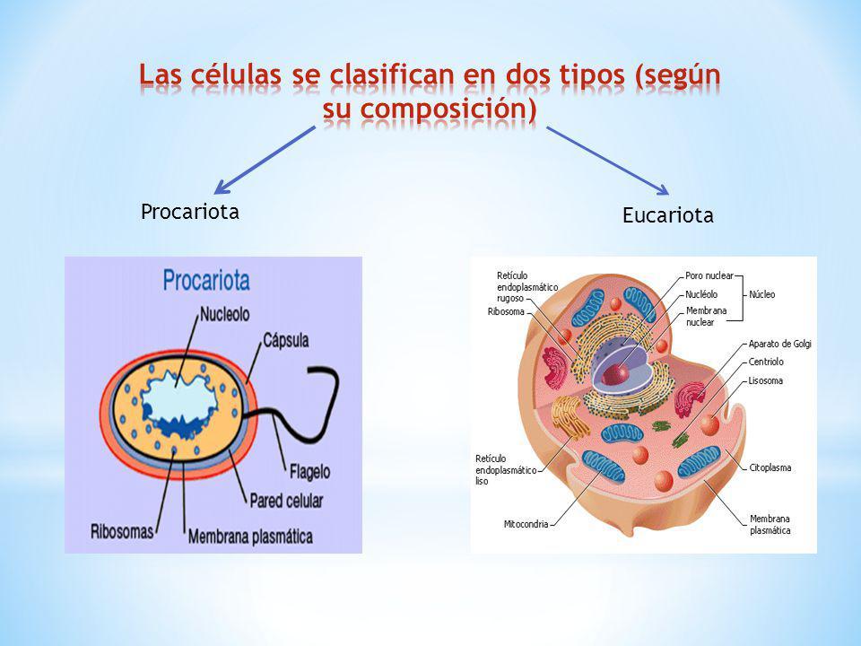 Procariota Eucariota