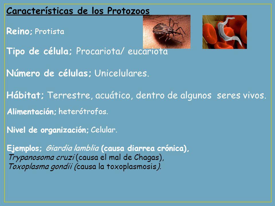 Características de los Protozoos Reino ; Protista Tipo de célula; Procariota/ eucariota Número de células; Unicelulares. Hábitat; Terrestre, acuático,