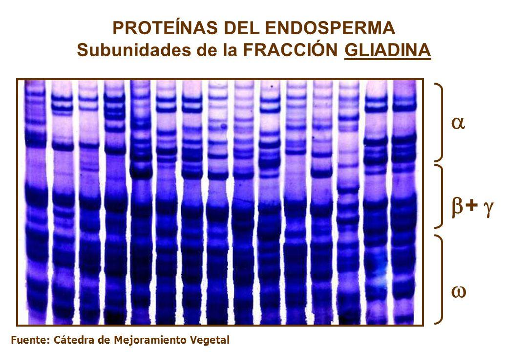 PROTEÍNAS DEL ENDOSPERMA Subunidades de la FRACCIÓN GLIADINA + Fuente: Cátedra de Mejoramiento Vegetal