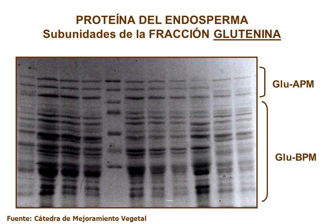 PROTEÍNA DEL ENDOSPERMA Subunidades de la FRACCIÓN GLUTENINA Glu-APM Glu-BPM Fuente: Cátedra de Mejoramiento Vegetal