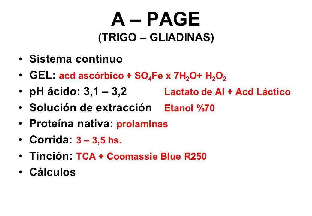 A – PAGE (TRIGO – GLIADINAS) Sistema contínuo GEL: acd ascórbico + SO 4 Fe x 7H 2 O+ H 2 O 2 pH ácido: 3,1 – 3,2 Lactato de Al + Acd Láctico Solución