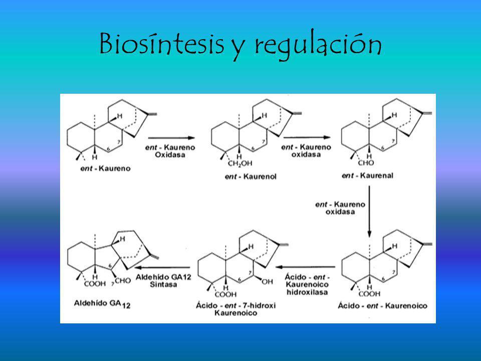 Biosíntesis y regulación