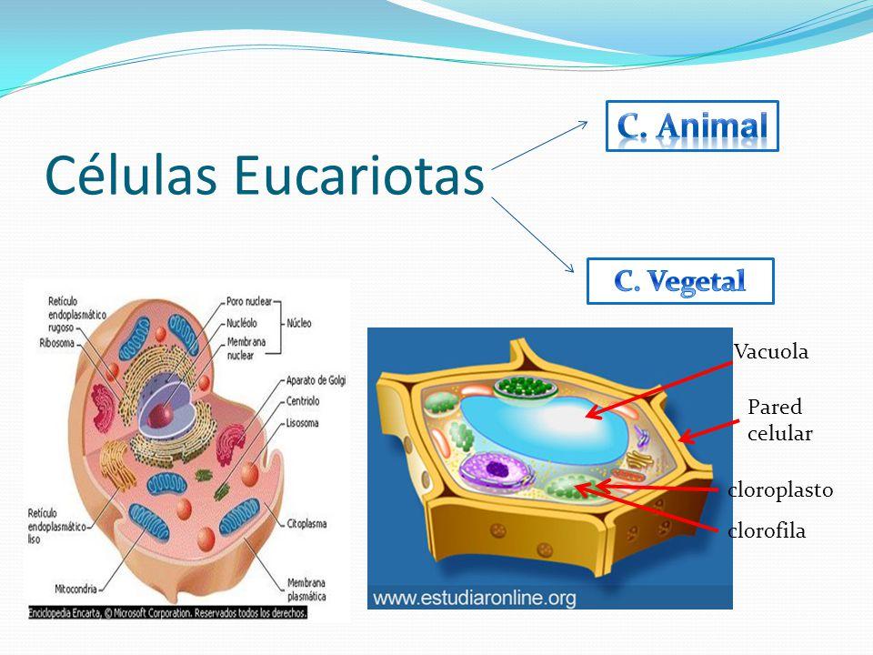 Diferentes tipos de Células. Célula Parenquimàtica