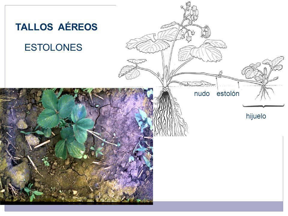 nudoestolón hijuelo TALLOS AÉREOS ESTOLONES