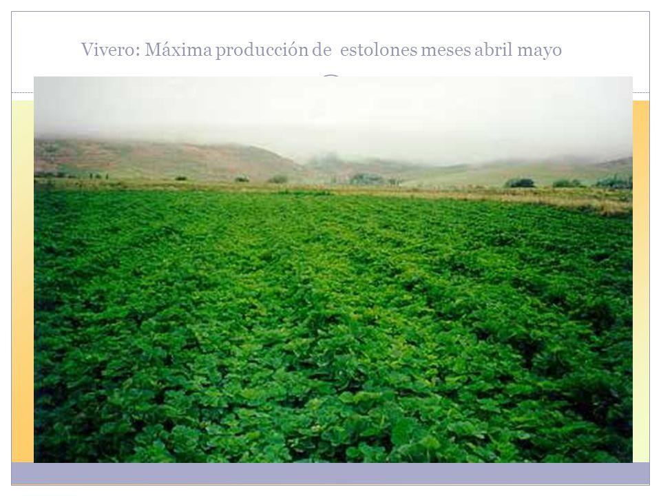 Vivero: Máxima producción de estolones meses abril mayo