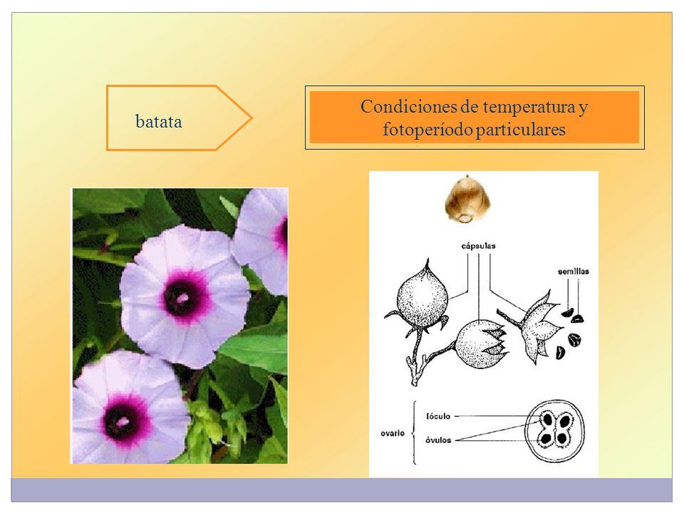 Condiciones de temperatura y fotoperíodo particulares batata