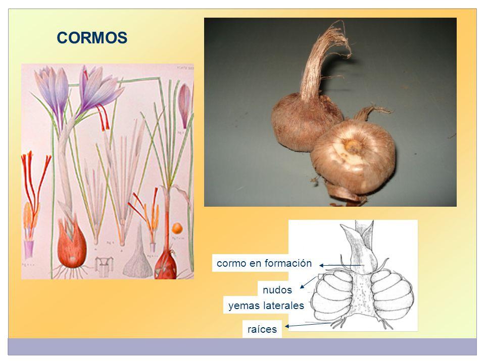 cormo en formación nudos yemas laterales raíces CORMOS