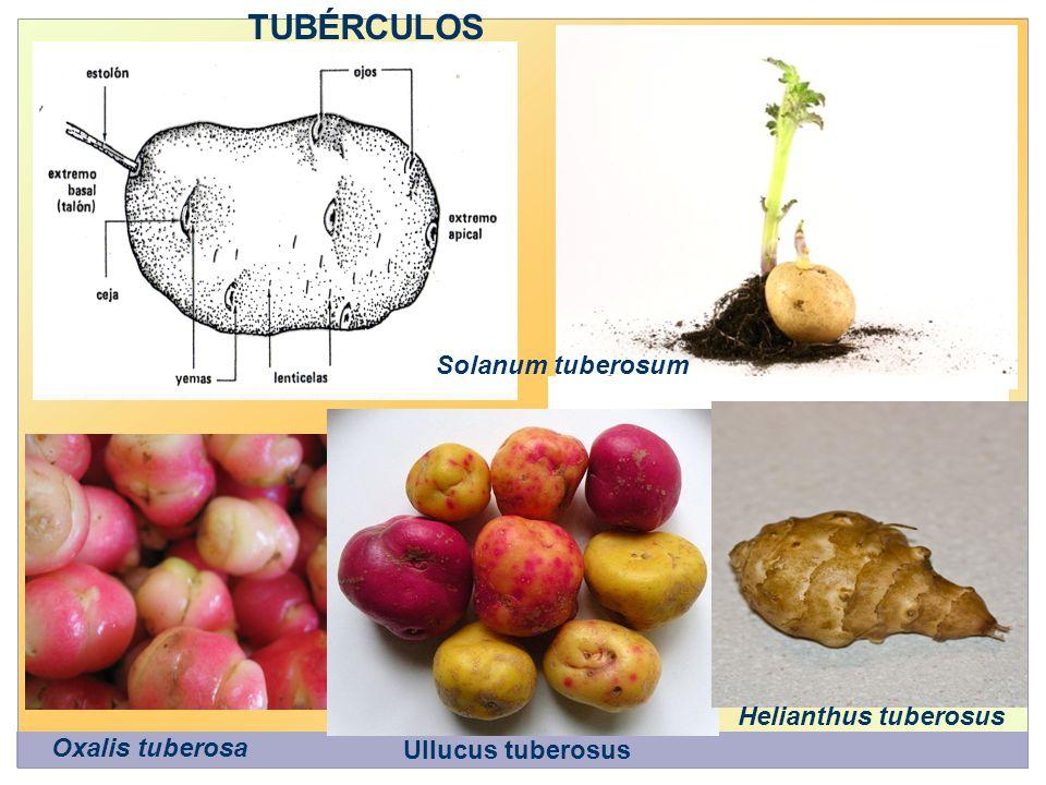 TUBÉRCULOS Solanum tuberosum Oxalis tuberosa Ullucus tuberosus Helianthus tuberosus