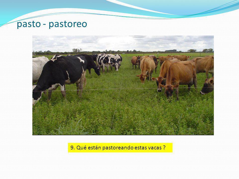 pasto - pastoreo 9. Qué están pastoreando estas vacas ?