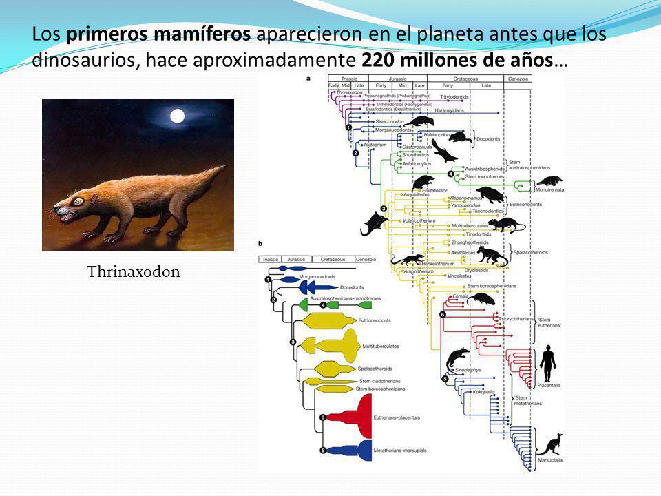 Los primeros mamíferos aparecieron en el planeta antes que los dinosaurios, hace aproximadamente 220 millones de años… Thrinaxodon
