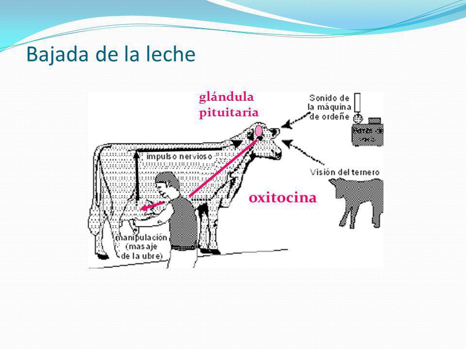 La glándula mamaria de la vaca ligamento suspensorio medio cuarto pezón vaca con buen ligamento suspensorio medio ubre pendulosa con el ligamento suspensorio medio débil