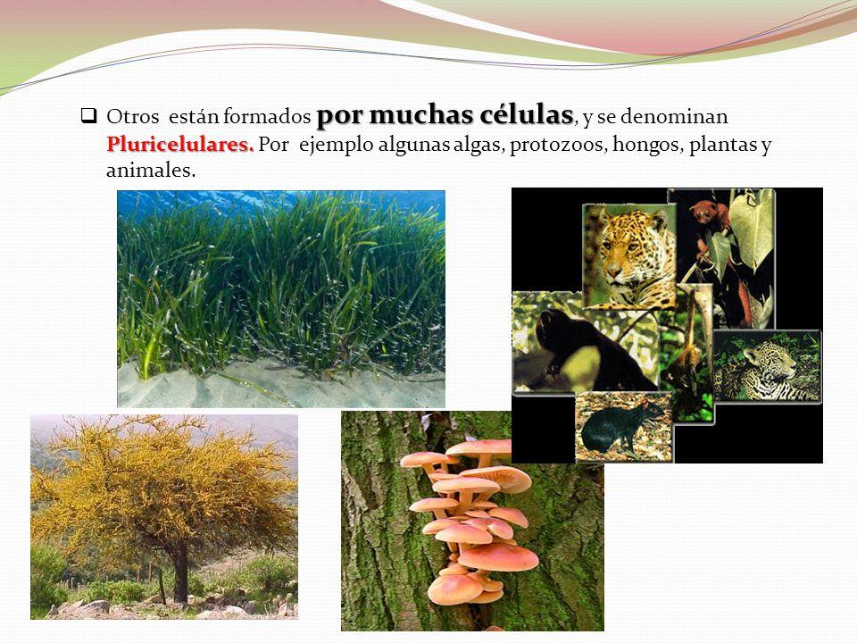 por muchas células Pluricelulares. Otros están formados por muchas células, y se denominan Pluricelulares. Por ejemplo algunas algas, protozoos, hongo