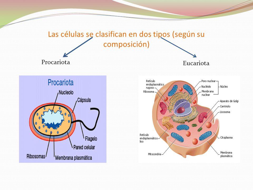 Las células se clasifican en dos tipos (según su composición) Procariota Eucariota