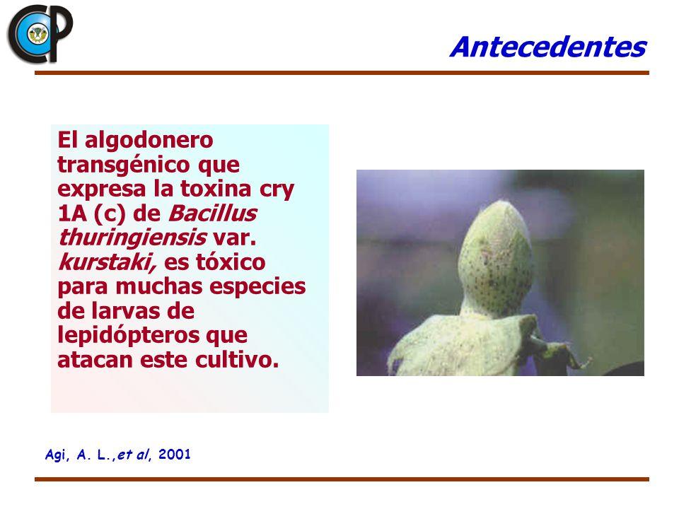 El algodonero transgénico que expresa la toxina cry 1A (c) de Bacillus thuringiensis var. kurstaki, es tóxico para muchas especies de larvas de lepidó