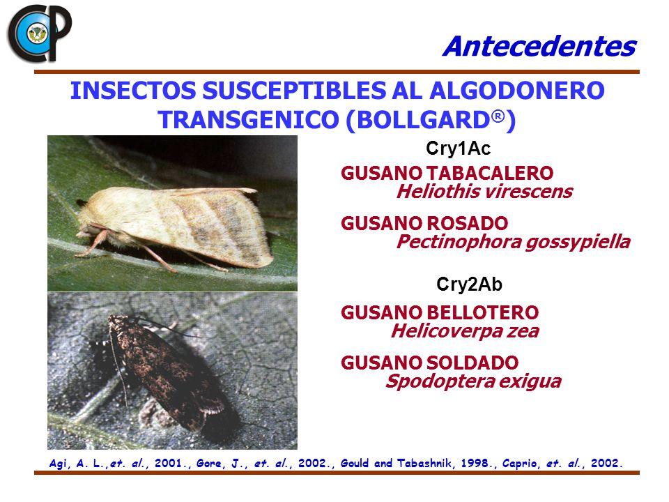 INSECTOS SUSCEPTIBLES AL ALGODONERO TRANSGENICO (BOLLGARD ® ) GUSANO TABACALERO Heliothis virescens GUSANO ROSADO Pectinophora gossypiella GUSANO BELL
