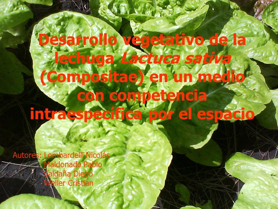 Desarrollo vegetativo de la lechuga Lactuca sativa (Compositae) en un medio con competencia intraespecífica por el espacio Autores: Lombardelli Nicolá