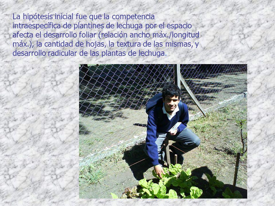 La hipótesis inicial fue que la competencia intraespecífica de plantines de lechuga por el espacio afecta el desarrollo foliar (relación ancho máx./lo