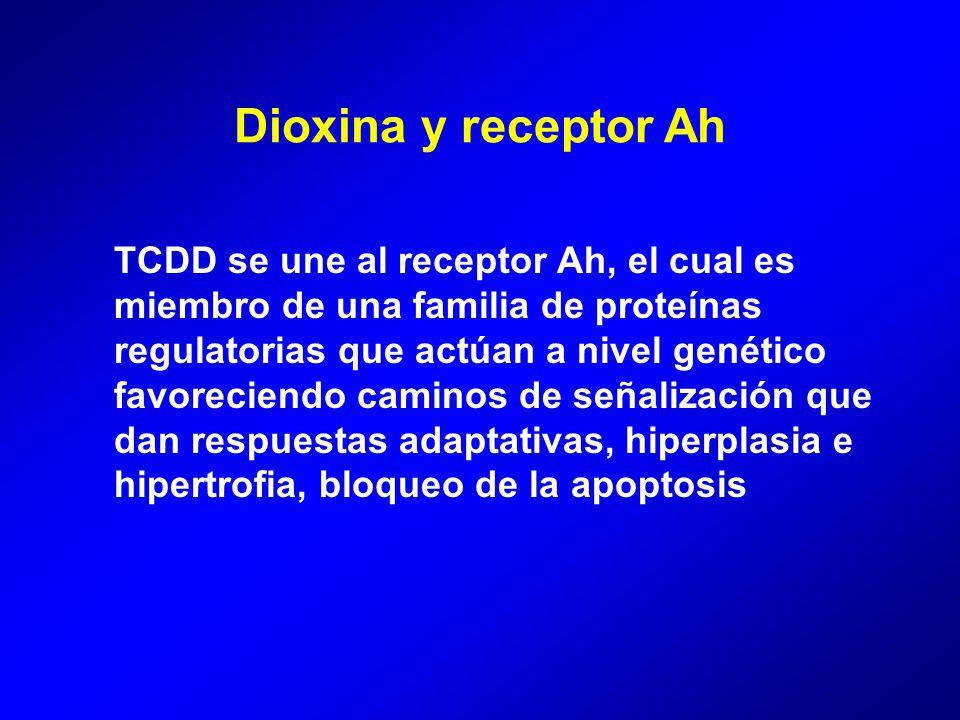 TCDD se une al receptor Ah, el cual es miembro de una familia de proteínas regulatorias que actúan a nivel genético favoreciendo caminos de señalización que dan respuestas adaptativas, hiperplasia e hipertrofia, bloqueo de la apoptosis Dioxina y receptor Ah