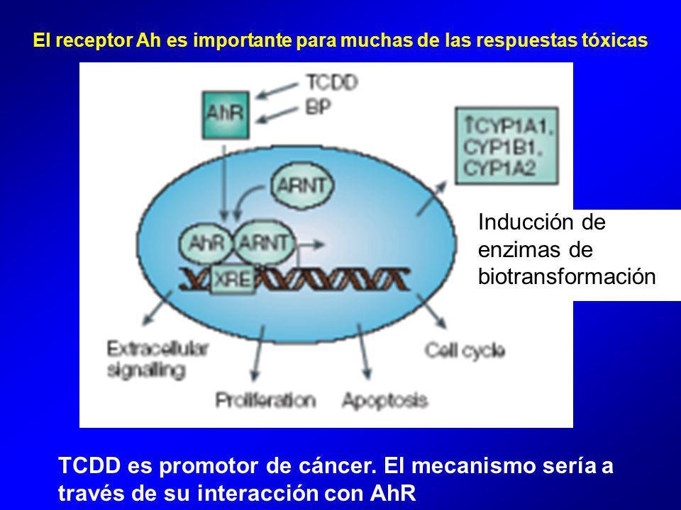 El receptor Ah es importante para muchas de las respuestas tóxicas TCDD es promotor de cáncer.