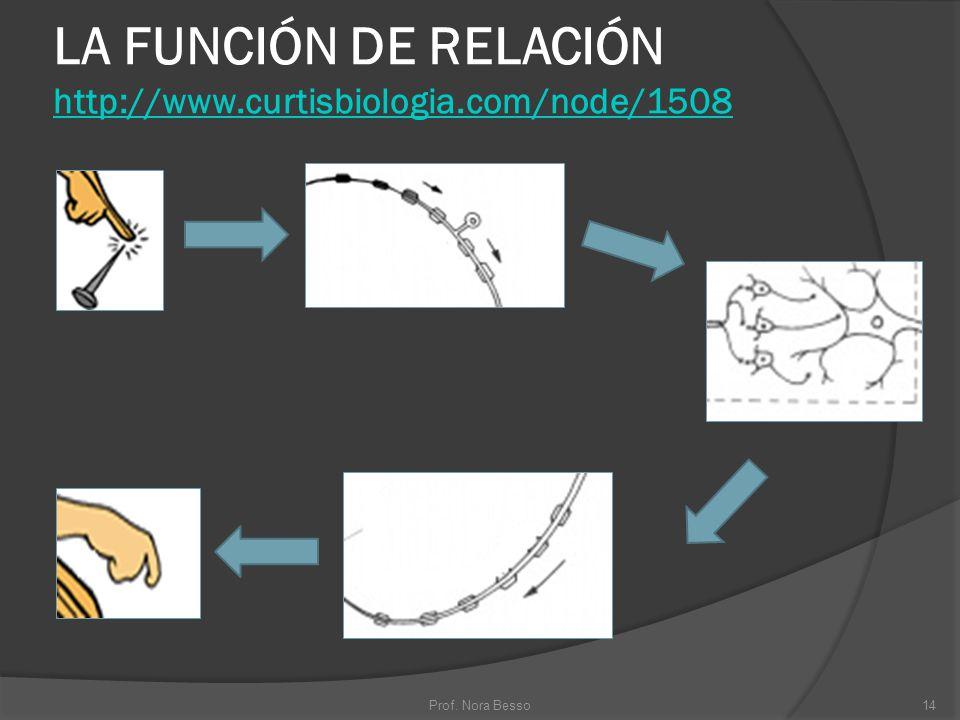 LA FUNCIÓN DE RELACIÓN http://www.curtisbiologia.com/node/1508 http://www.curtisbiologia.com/node/1508 14Prof. Nora Besso