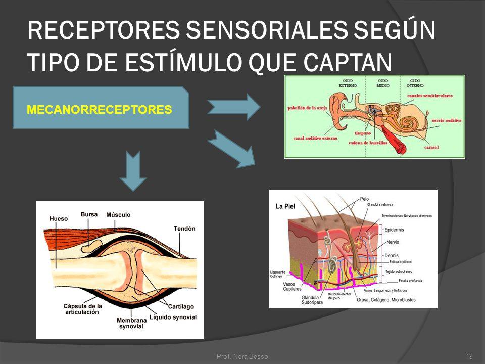RECEPTORES SENSORIALES SEGÚN TIPO DE ESTÍMULO QUE CAPTAN MECANORRECEPTORES 19Prof. Nora Besso