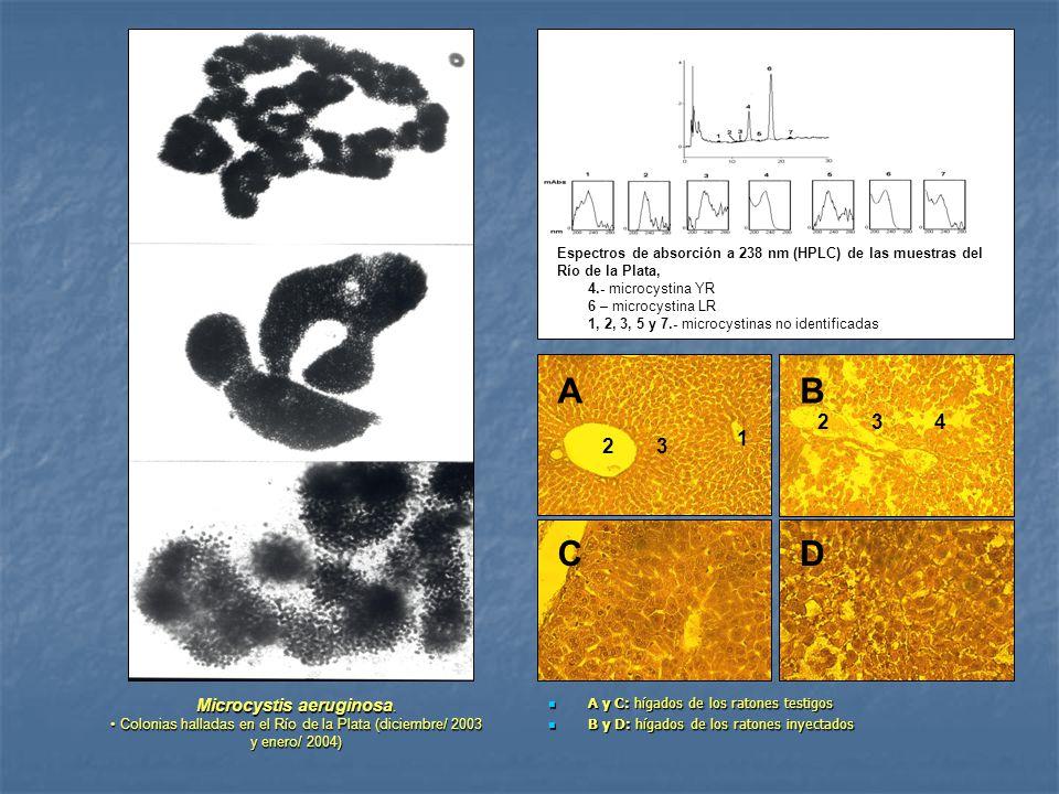 A y C: hígados de los ratones testigos A y C: hígados de los ratones testigos B y D: hígados de los ratones inyectados B y D: hígados de los ratones i