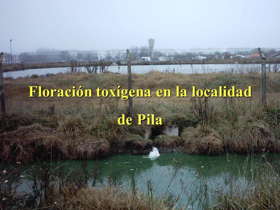 Floración toxígena en la localidad de Pila