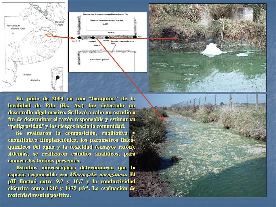 En junio de 2004 en una banquina de la localidad de Pila (Bs. As.) fue detectado un desarrollo algal masivo. Se llevó a cabo un estudio a fin de deter