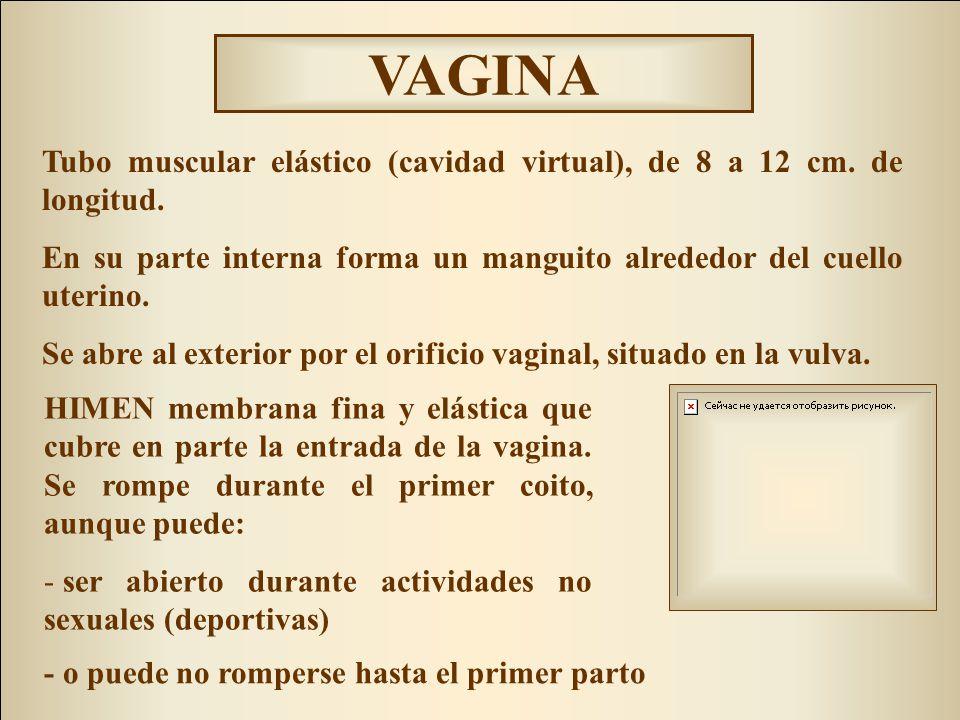 HIMEN membrana fina y elástica que cubre en parte la entrada de la vagina. Se rompe durante el primer coito, aunque puede: - ser abierto durante activ