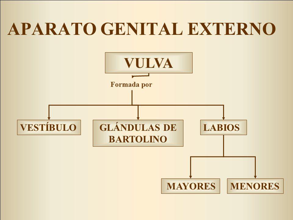 VESTÍBULOGLÁNDULAS DE BARTOLINO MENORES MAYORES LABIOS Formada por VULVA