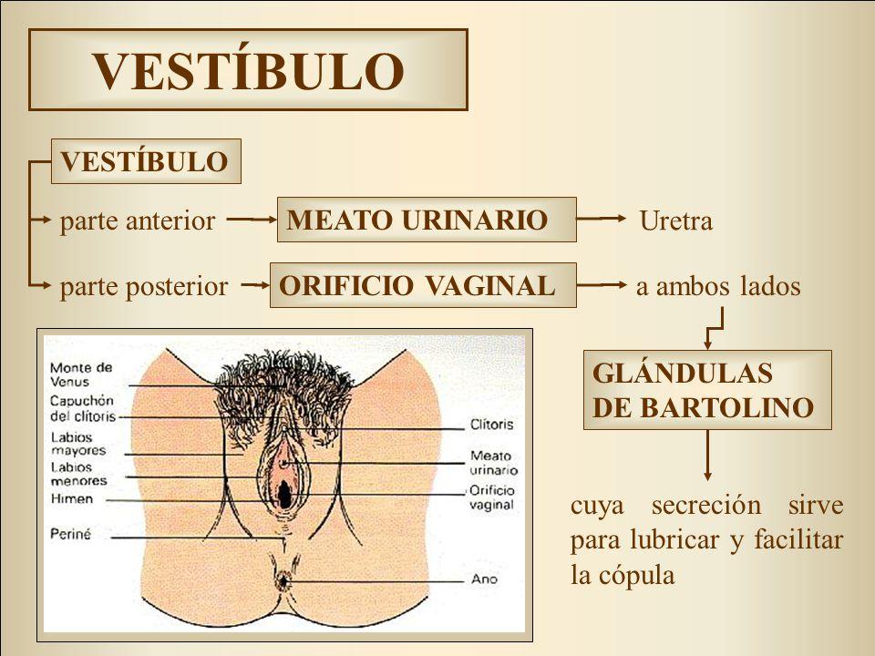 VESTÍBULO cuya secreción sirve para lubricar y facilitar la cópula MEATO URINARIO parte anterior parte posterior ORIFICIO VAGINAL VESTÍBULO a ambos lados GLÁNDULAS DE BARTOLINO Uretra